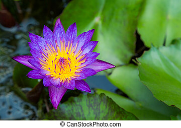 Purple lotus flower on a pond with yellow center and...