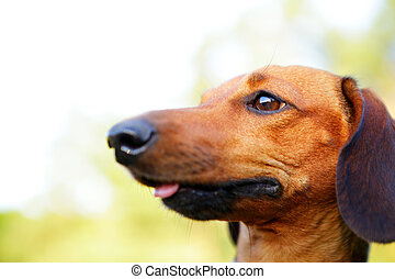 Brown smooth-haired dachshund portrait in profile closeup