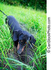 Black dachshund hunting closeup among the green grass