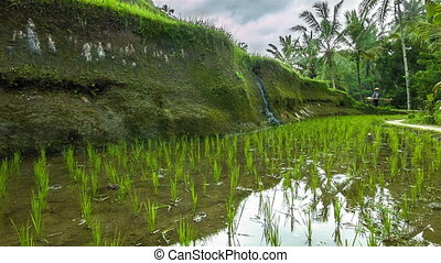 Rice fileds on hills
