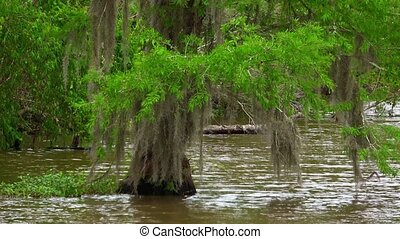 Impressive nature in the swamps of Louisiana