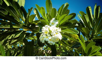 Franjipani flowers - White Franjipani flowers with green...