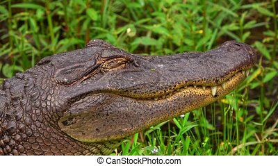Big alligator in the swamps of Louisiana - close up