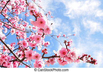 Cherry Blossoms - Cherry tree blossoming at its peak just...