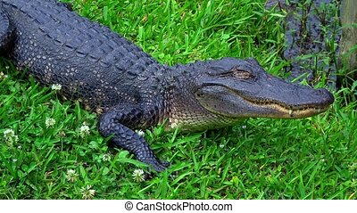 Wild animals in the swamps near New Orleans - alligator