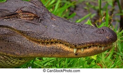 Close up shot of the jaw of a wild alligator in the swamps