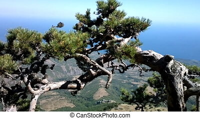 Warped life. Look of natural pine on top of mountains - Look...