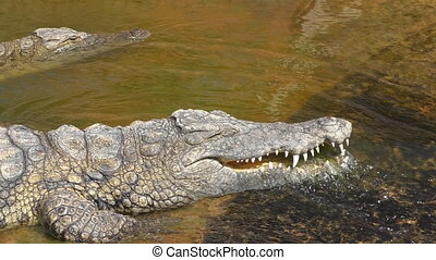 Crocodile washing its teeth - Two crocodiles lying in water...