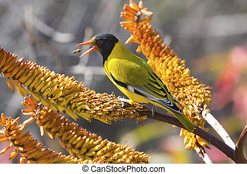 Black-headed oriole sitting on yellow aloe to catch bees -...