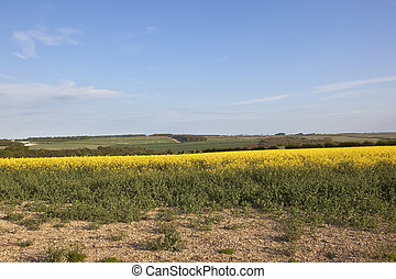 springtime in the yorkshire wolds - canola crop and chalky...