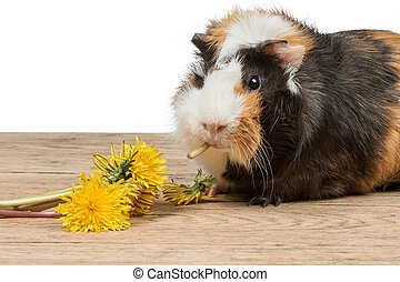 Guinea pigs eating - Beautiful guinea pig sits on an old...