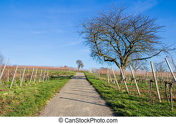 Winter in the Vineyard - Barren trees in the vineyards of...