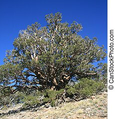 Juniper tree on a mountain side, California