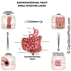 Normal Gastrointestinal tract and small intestine detailed...