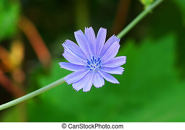 Chicory flower Macro composition of nature