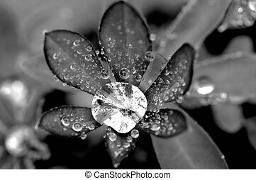 Lupin 2 lupinus macro monochrome image of water trapped in...