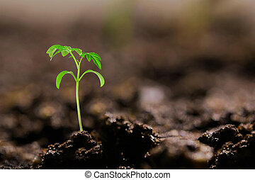 small tomato seedling in the ground