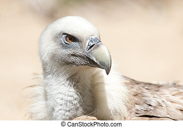 Portrait of vulture in the nature