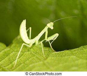 Green mantis in the nature close