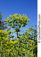 Wolf spurge Euphorbia cyparissias - The wolf spurge...