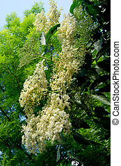 Elderberry (Sambucus nigra) flower. - Elderberry (Sambucus...