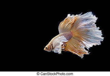 Moving moment of big ear siamese fighting fish isolated on...