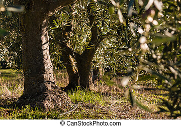 gnarled olive trees in olive grove - closeup of gnarled...