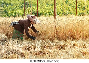 granjero, Cosechar, trigo, con, guadaña, en, trigo,...