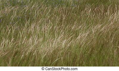 ears grass in the wind