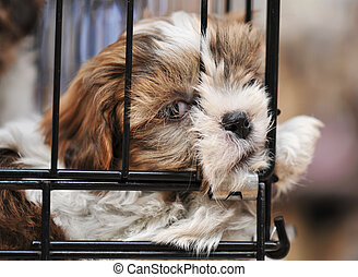 puppy shihtzu in cage - very young puppy purebred shihtzu in...