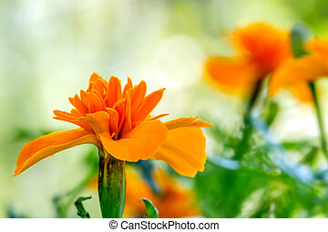 Carroty Marigold - Marigold photographed in nature planted...