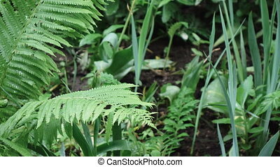 Fern during rain spring - Big leaf fern during rain
