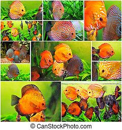 discus - group of colorful symphysodon discus in aquarium