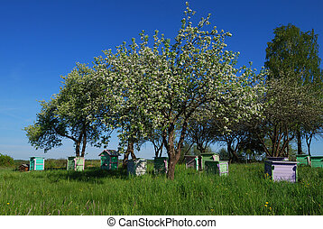 Honey bee hives in spring apple garden