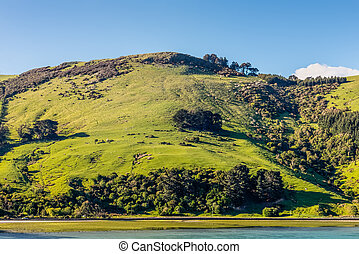 Sheep and pastures in the New Zealand - Beautiful landscape...