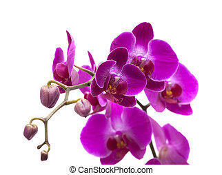 abundant flowering of magenta phalaenopsis orchid isolated...