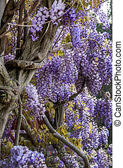 wisteria flowers in spring