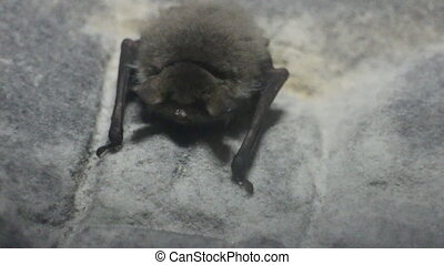 Spawn of devil Fat disgusting bat frantically breathes in...