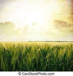 Wheat on the field - Wheat field.Yellow wheat ears field...