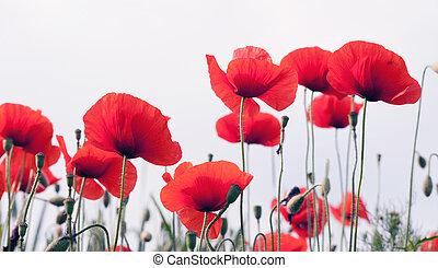 red poppy field - Red poppy on white background