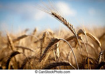 Wheat field - Golden ears of wheat on the field