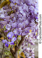 wisteria flowers in spring - a blooming wisteria shrub in...