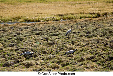 Demoiselle Cranes - Anthropoides virgo in the field Altay...