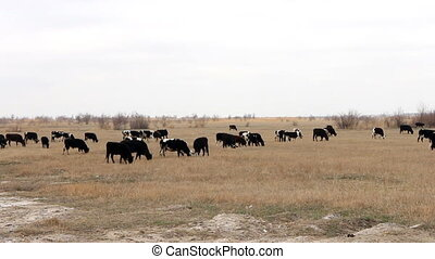 Herd of cattle with large number of calves on grazing in...