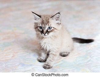 The Neva-Masquerade kitten - A Neva-Masquerade kitten...