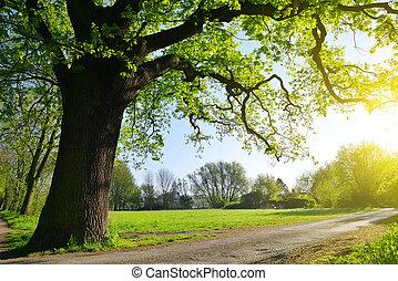 大, 公園, 橡木, 樹