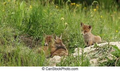 fox cubs playing - red fox cubs playing near the burrow,...