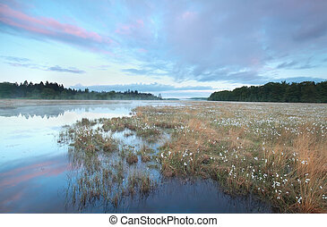 swamp with plenty cotton-grass at sunrise, Drenthe,...