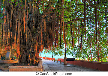 Hanging tree San Juan - Beautiful tree with aerial roots at...
