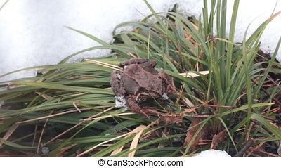 Frog had just awakened from winter hibernation - Frog had...